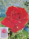 Indian Roses - Sugandha